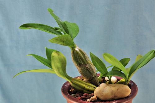 泰国家种石斛