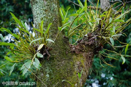 铁皮石斛 菊花