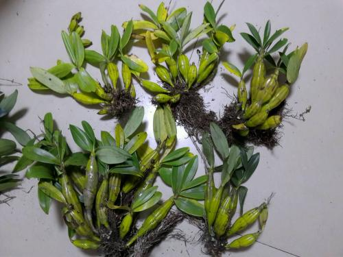 石斛兰组培苗的侧芽图片