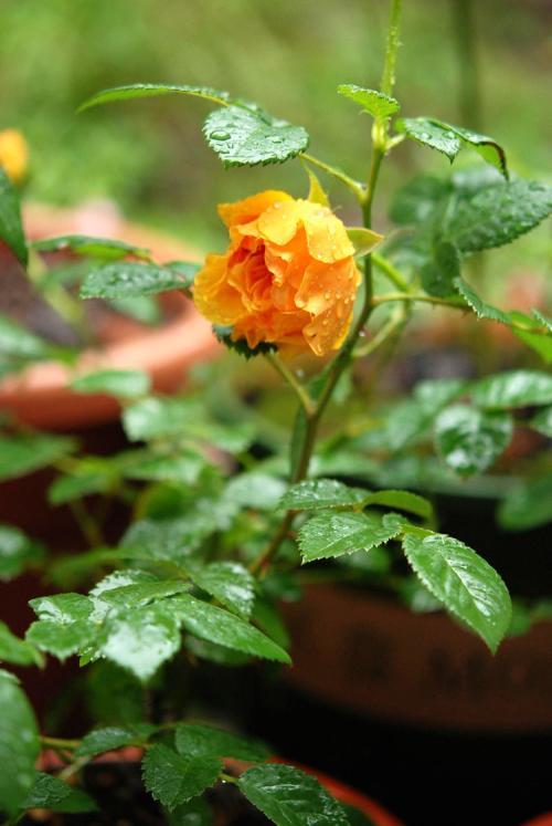 石斛炖花胶功效与作用
