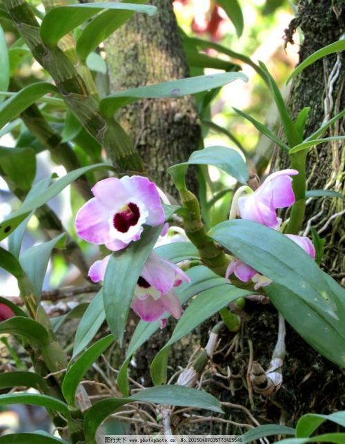 霍山石斛在春季有什么养生功效