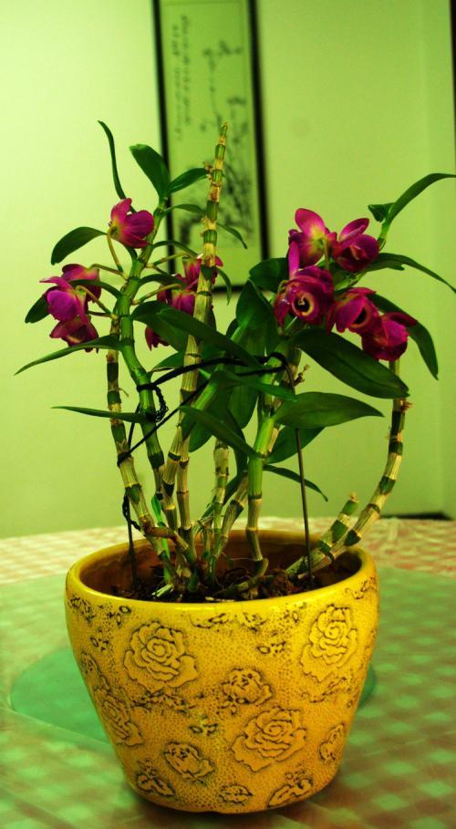 石斛花分为几种颜色花