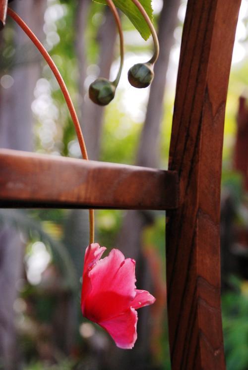 红株虫石斛