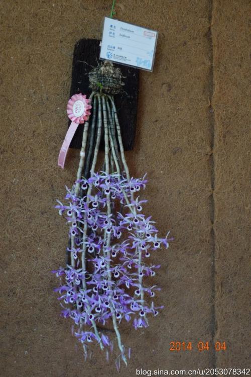最名贵的石斛兰花