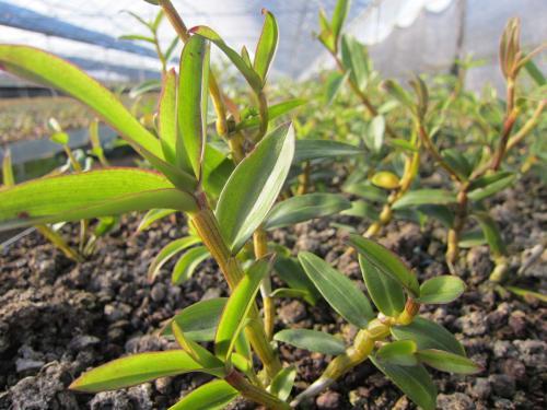 石斛花可以和茶叶一起泡吗