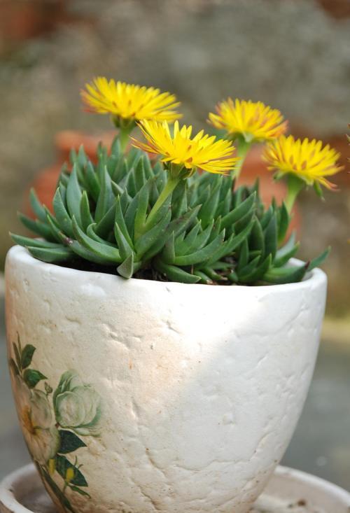 石斛兰的花能泡水