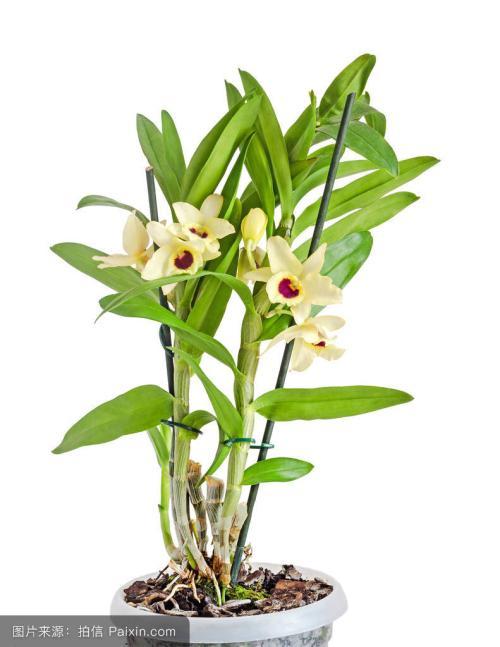 淘宝铁皮石斛花