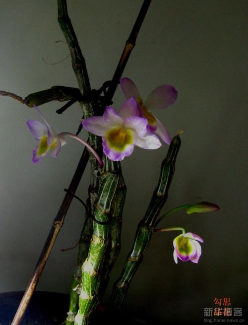 石斛的花什么颜色的